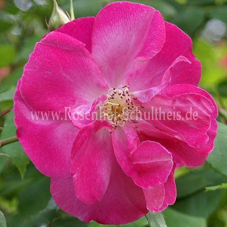 vanity rosen online kaufen im rosenhof schultheis rosen online kaufen im rosenhof schultheis. Black Bedroom Furniture Sets. Home Design Ideas