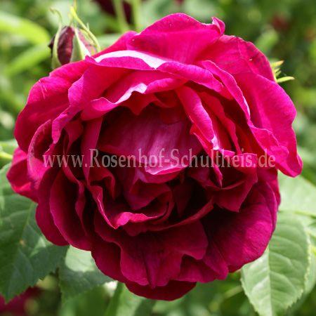 parkzierde rosen online kaufen im rosenhof schultheis. Black Bedroom Furniture Sets. Home Design Ideas