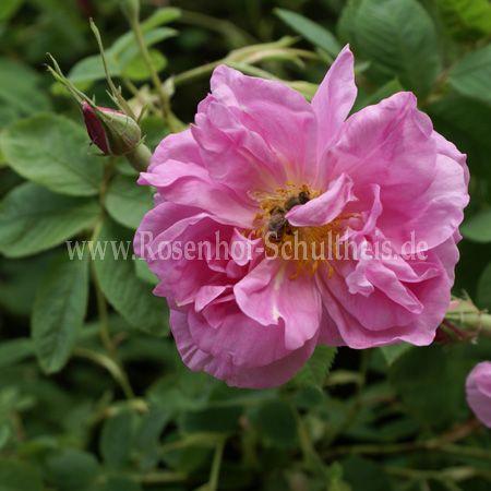 trigintipetala rosen online kaufen im rosenhof schultheis rosen online kaufen im rosenhof. Black Bedroom Furniture Sets. Home Design Ideas