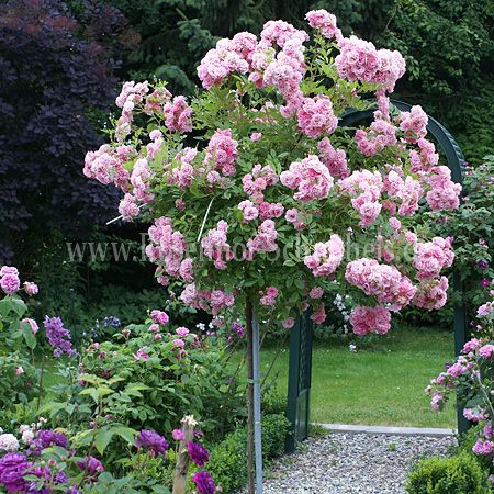 steinfurth rosen rosensaal steinfurth rosen auswahl g. Black Bedroom Furniture Sets. Home Design Ideas