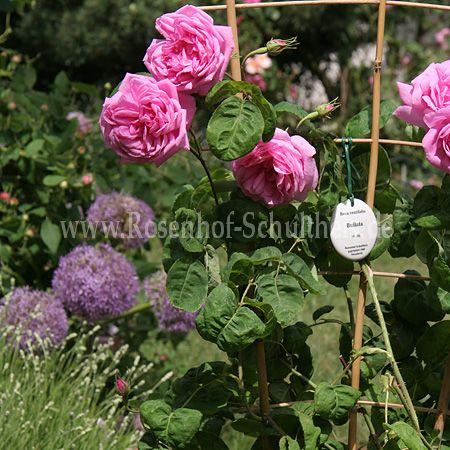 bullata rosen online kaufen im rosenhof schultheis rosen online kaufen im rosenhof schultheis. Black Bedroom Furniture Sets. Home Design Ideas