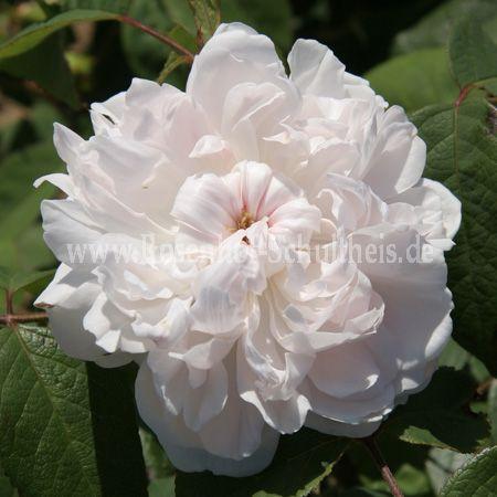 wei e jacques cartier rosen online kaufen im rosenhof schultheis rosen online kaufen im. Black Bedroom Furniture Sets. Home Design Ideas