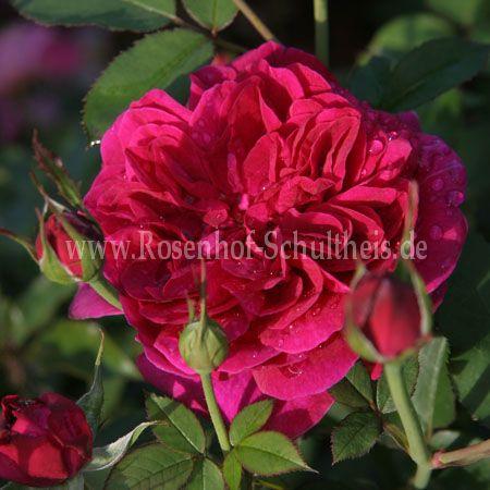 darcey bussell rosen online kaufen im rosenhof schultheis rosen online kaufen im rosenhof. Black Bedroom Furniture Sets. Home Design Ideas