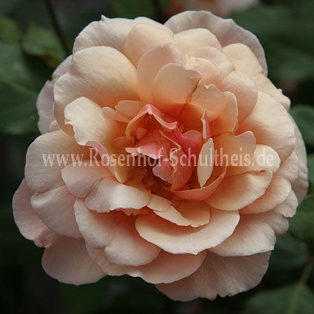 Gru an coburg rosen online kaufen im rosenhof for Rosa coburg