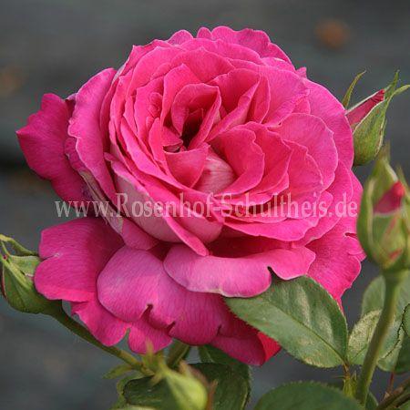 baronne e de rothschild rosen online kaufen im rosenhof schultheis rosen online kaufen im. Black Bedroom Furniture Sets. Home Design Ideas