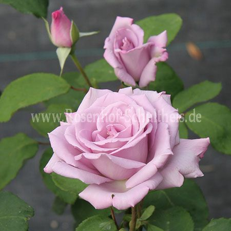 tarde gris rosen online kaufen im rosenhof schultheis rosen online kaufen im rosenhof schultheis. Black Bedroom Furniture Sets. Home Design Ideas