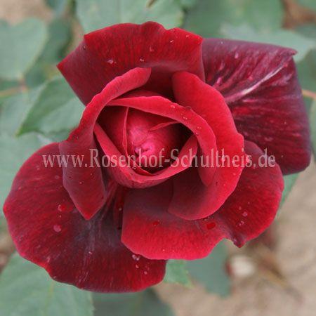 papa meilland rosen online kaufen im rosenhof schultheis. Black Bedroom Furniture Sets. Home Design Ideas