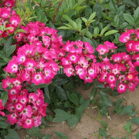 red yesterday rosen online kaufen im rosenhof schultheis rosen online kaufen im rosenhof. Black Bedroom Furniture Sets. Home Design Ideas