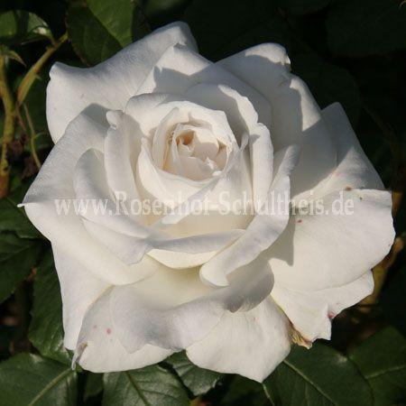 annapurna rosen online kaufen im rosenhof schultheis. Black Bedroom Furniture Sets. Home Design Ideas