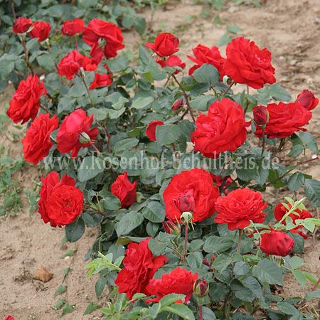 chorus rosen online kaufen im rosenhof schultheis rosen online kaufen im rosenhof schultheis. Black Bedroom Furniture Sets. Home Design Ideas