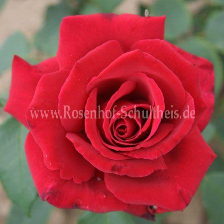 Vendita rose vendita rose online Vivaio rose antiche e