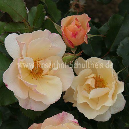saga rosen online kaufen im rosenhof schultheis rosen online kaufen im rosenhof schultheis. Black Bedroom Furniture Sets. Home Design Ideas