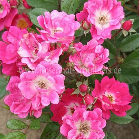 orl ans rose rosen online kaufen im rosenhof schultheis rosen online kaufen im rosenhof. Black Bedroom Furniture Sets. Home Design Ideas