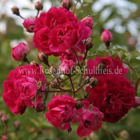 babette rambler rosen online kaufen im rosenhof. Black Bedroom Furniture Sets. Home Design Ideas