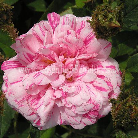 mme moreau rosen online kaufen im rosenhof schultheis rosen online kaufen im rosenhof schultheis. Black Bedroom Furniture Sets. Home Design Ideas