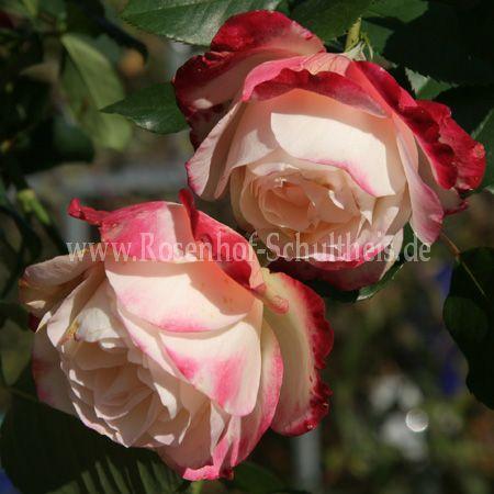 jubile du prince de monaco rosen online kaufen im rosenhof schultheis rosen online kaufen im. Black Bedroom Furniture Sets. Home Design Ideas