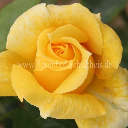 landora rosen online kaufen im rosenhof schultheis rosen online kaufen im rosenhof schultheis. Black Bedroom Furniture Sets. Home Design Ideas