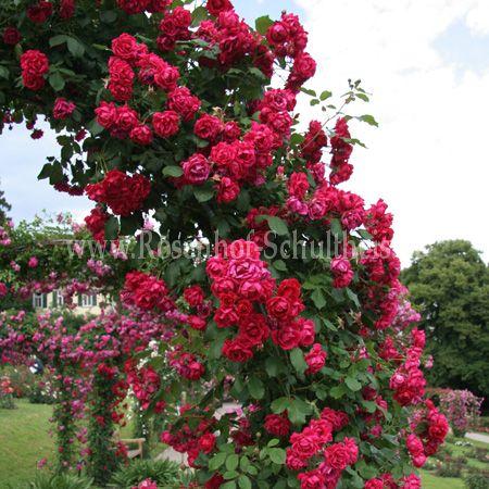 blaze superior rosen online kaufen im rosenhof. Black Bedroom Furniture Sets. Home Design Ideas