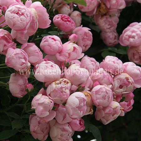 raubritter rosen online kaufen im rosenhof schultheis rosen online kaufen im rosenhof schultheis. Black Bedroom Furniture Sets. Home Design Ideas