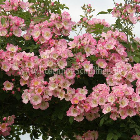 kew rambler rosen online kaufen im rosenhof schultheis. Black Bedroom Furniture Sets. Home Design Ideas