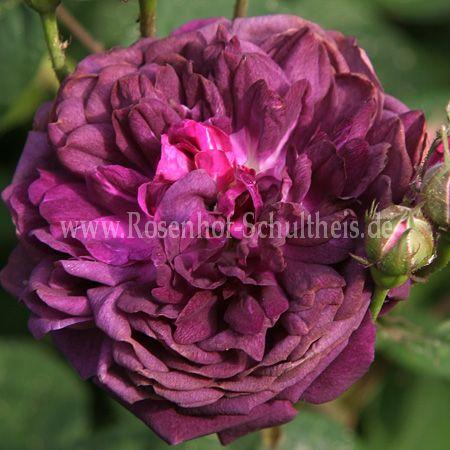 cardinal de richelieu rosen online kaufen im rosenhof schultheis rosen online kaufen im. Black Bedroom Furniture Sets. Home Design Ideas