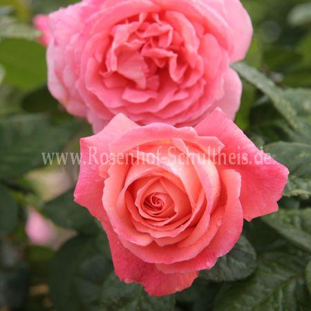 kore rosen online kaufen im rosenhof schultheis rosen online kaufen im rosenhof schultheis. Black Bedroom Furniture Sets. Home Design Ideas