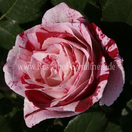 scentimental rosen  kaufen im rosenhof schultheis