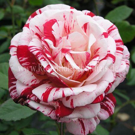 scentimental rosen online kaufen im rosenhof schultheis. Black Bedroom Furniture Sets. Home Design Ideas