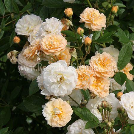 ghislaine de f ligonde rosen online kaufen im rosenhof. Black Bedroom Furniture Sets. Home Design Ideas