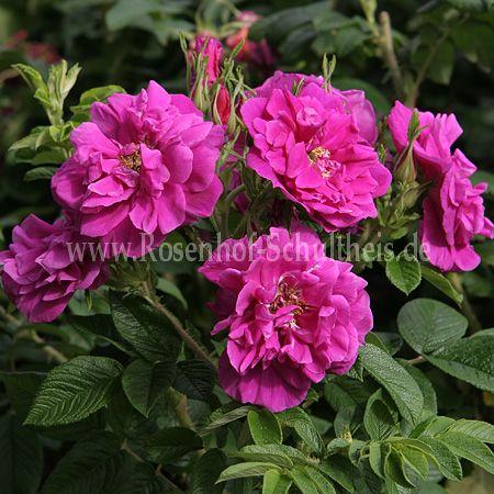 moje hammarberg rosen online kaufen im rosenhof schultheis rosen online kaufen im rosenhof. Black Bedroom Furniture Sets. Home Design Ideas