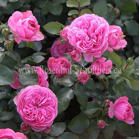 leonardo da vinci rosen online kaufen im rosenhof schultheis rosen online kaufen im rosenhof. Black Bedroom Furniture Sets. Home Design Ideas