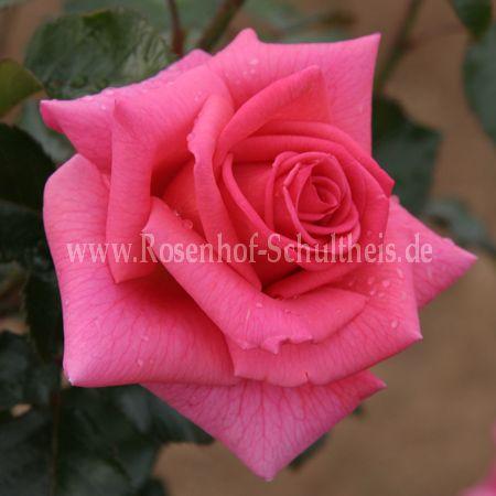 fragrant aliz e rosen online kaufen im rosenhof. Black Bedroom Furniture Sets. Home Design Ideas