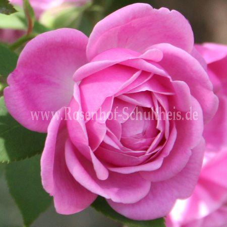 hermosa rosen online kaufen im rosenhof schultheis rosen online kaufen im rosenhof schultheis. Black Bedroom Furniture Sets. Home Design Ideas