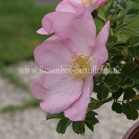 dagmar hastrup rosen online kaufen im rosenhof schultheis rosen online kaufen im rosenhof. Black Bedroom Furniture Sets. Home Design Ideas