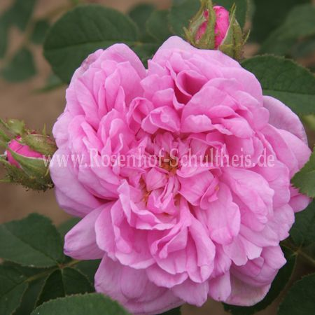 salet rosen online kaufen im rosenhof schultheis rosen online kaufen im rosenhof schultheis. Black Bedroom Furniture Sets. Home Design Ideas