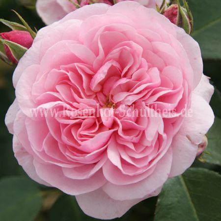 roseninsel rosen online kaufen im rosenhof schultheis rosen online kaufen im rosenhof schultheis. Black Bedroom Furniture Sets. Home Design Ideas
