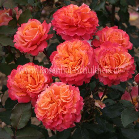 frenesie rosen online kaufen im rosenhof schultheis rosen online kaufen im rosenhof schultheis. Black Bedroom Furniture Sets. Home Design Ideas