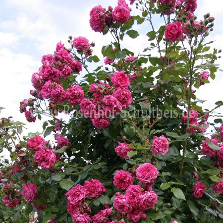 laguna rosen online kaufen im rosenhof schultheis rosen online kaufen im rosenhof schultheis. Black Bedroom Furniture Sets. Home Design Ideas