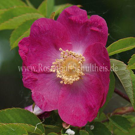 rosa forrestiana rosen online kaufen im rosenhof. Black Bedroom Furniture Sets. Home Design Ideas