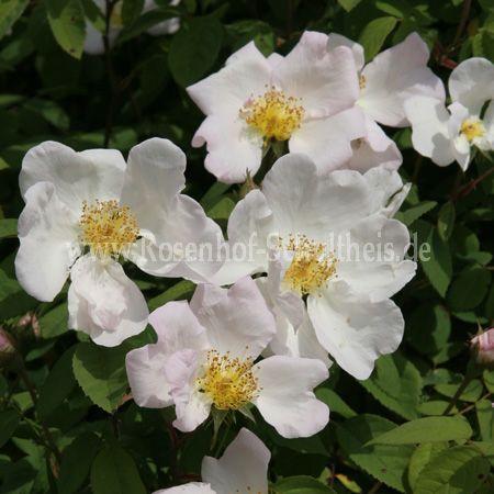 rosa sancta rosen online kaufen im rosenhof schultheis. Black Bedroom Furniture Sets. Home Design Ideas