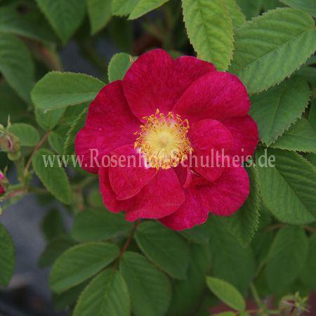 splendens rosen online kaufen im rosenhof schultheis rosen online kaufen im rosenhof schultheis. Black Bedroom Furniture Sets. Home Design Ideas