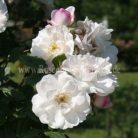 capriolata rosen online kaufen im rosenhof schultheis. Black Bedroom Furniture Sets. Home Design Ideas