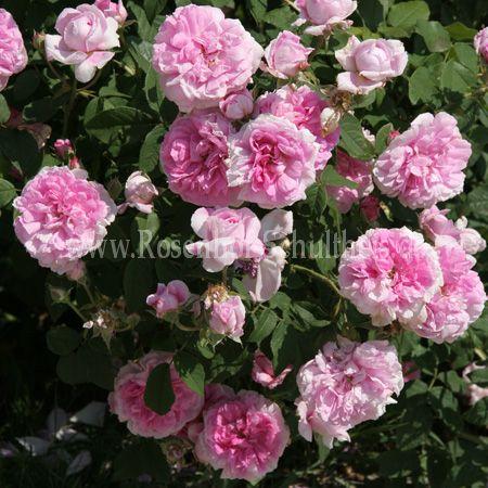 ispahan rosen online kaufen im rosenhof schultheis rosen online kaufen im rosenhof schultheis. Black Bedroom Furniture Sets. Home Design Ideas