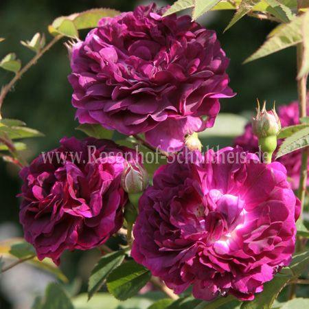 reine des violettes rosen online kaufen im rosenhof. Black Bedroom Furniture Sets. Home Design Ideas