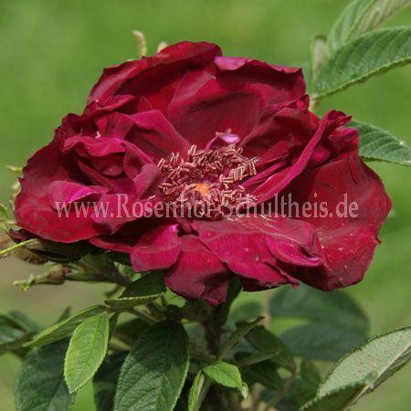 rotes ph nomen rosen online kaufen im rosenhof. Black Bedroom Furniture Sets. Home Design Ideas