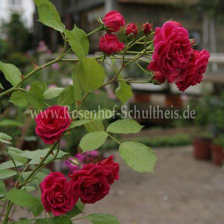 elmshorn rosen online kaufen im rosenhof schultheis. Black Bedroom Furniture Sets. Home Design Ideas