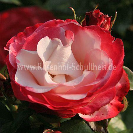 nostalgie rosen online kaufen im rosenhof schultheis rosen online kaufen im rosenhof schultheis. Black Bedroom Furniture Sets. Home Design Ideas