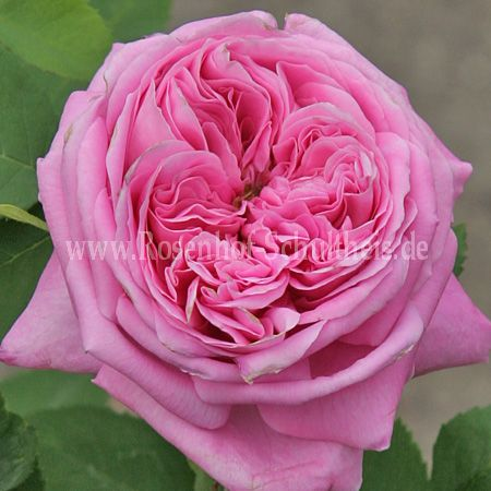 yolande d 39 aragon rosen online kaufen im rosenhof. Black Bedroom Furniture Sets. Home Design Ideas