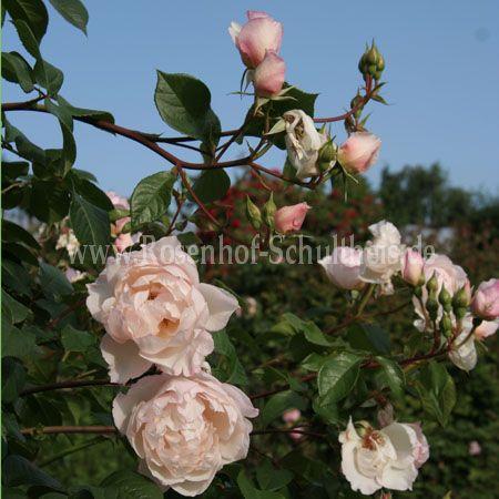 The Generous Gardener Rosen Online Kaufen Im Rosenhof