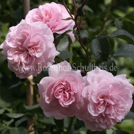 belle coquette rosen online kaufen im rosenhof schultheis rosen online kaufen im rosenhof. Black Bedroom Furniture Sets. Home Design Ideas